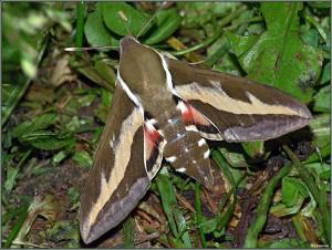 Бражник подморенниковый бабочка