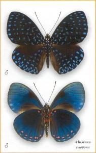 Гамадриада велютина бабочка