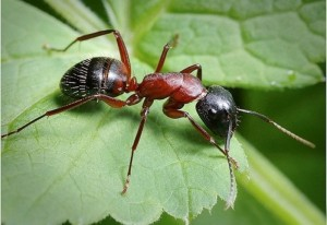 Муравьи -листорезы