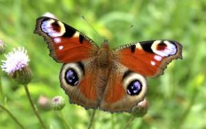 Павлиний глаз бабочка