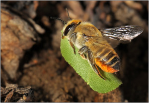 Пчела - листорез
