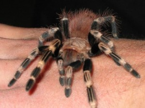 Питомец паук-птицеед