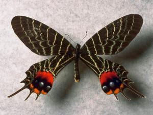 Слава Бутана бабочка