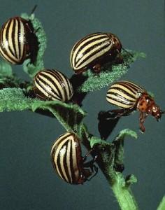 ткуда появились колорадские жуки