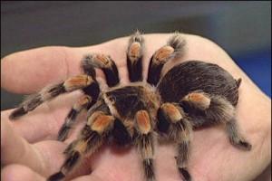 Чернобрюхий тарантул