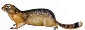 Биология длинохвостого суслика