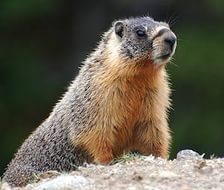 Представители рода сурков (Marmota)