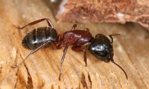 Если у материнского муравейника несколько отводков