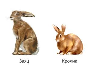 Как отличить кролика от зайца
