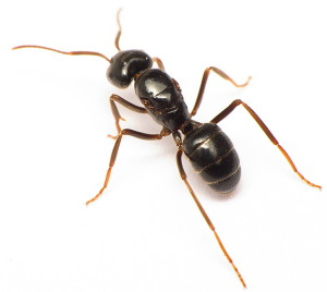 Кормовые участки группы муравейников