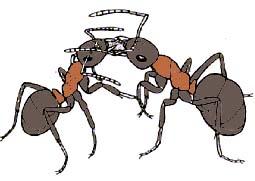 Обмен жидкой пищей у садовых муравьев