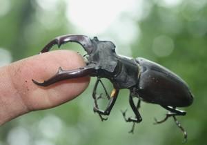 Почему жуки-олени сильно кусают
