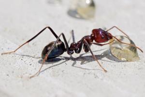 Появление вторичных материнских муравейников