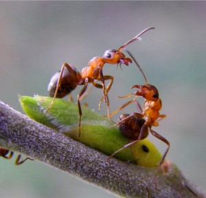 Сокращение кормового участка материнского муравейника