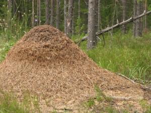 Цоликалическии муравейник
