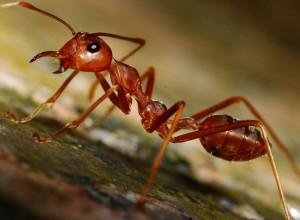 Транспортировка внутригнездового муравья