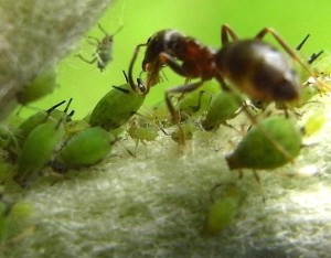 Трофобиоз муравьев с тлями