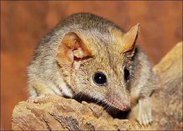 В Австралии обнаружили новый вид сумчатой мыши