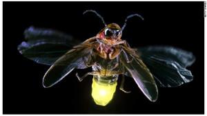 Зачем насекомые светятся