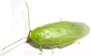Зеленый банановый таракан