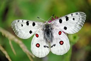 Аполон бабочка