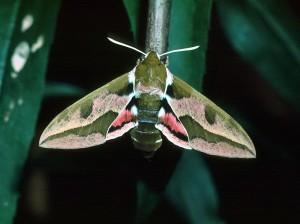 Бражник молочайный бабочка