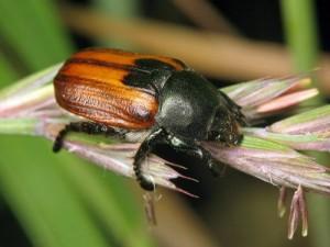 Кузька хлебный жук