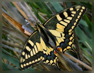 Махаон (лат. Papilio machaon)