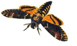 Мертвая голова бабочка, которая кричит