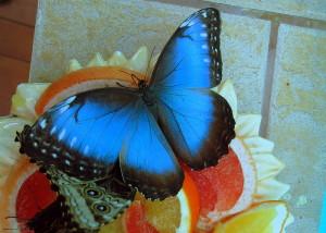 Парусник Улисс бабочка