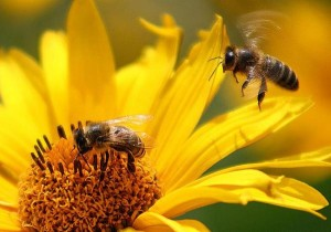 Пчела- работница