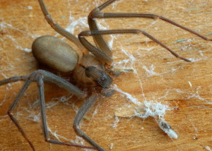 Самый опасный паук в мире