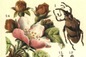 Anthonomus pomorum L.