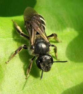 Пчелы-галикты