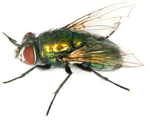 Серая педальная муха