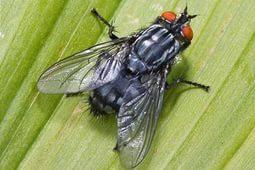 Трупные мухи