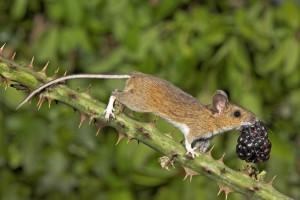 Мыши лесные и полевые