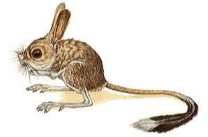 Семейство ТУШКАНЧИКОВЫЕ (Dipodidae)