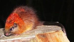 Красногривая древесная крыса