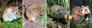 Курганчиковые мыши