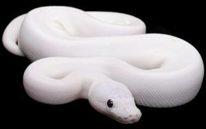 Миф о том, что змеи глухи