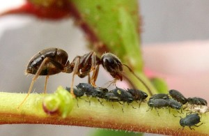 Муравьи и вредные насекомые