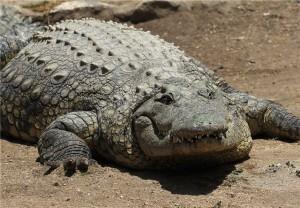 Нильские крокодилы
