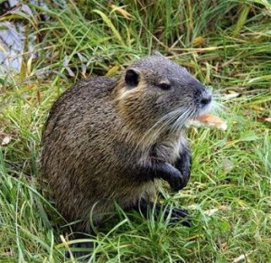 Почему крыс никогда не тошнит