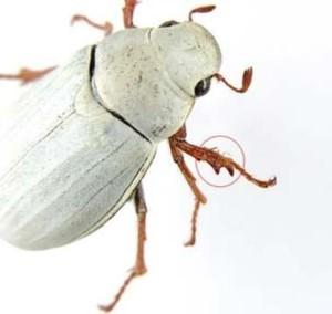 Раскрыт секрет самых белых в мире жуков