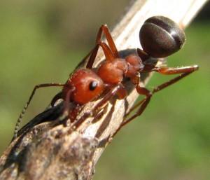 Схема обменов в колонии обыкновенного муравья