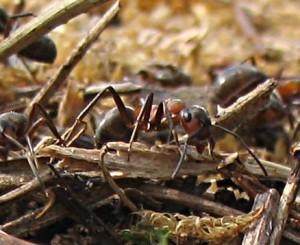 Взаимно перекрывающиеся кормовые участки видов-доминантов в ассоциации муравейников