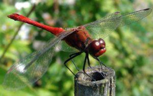 Стрекоза - реактивное и всевидящее насекомое
